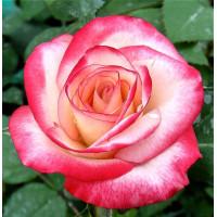 Роза Аттракта(чайно-гибридная)