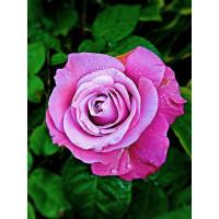 Роза Блю Парфюм(чайно-гибридная)