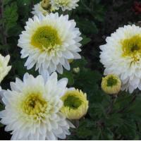 Хризантема Инга (Среднецветковая/Белая с желто/зеленой серединой)