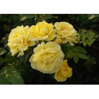 Роза Золотой Олимп (плетистая)