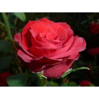 Роза Селена(чайно-гибридная)