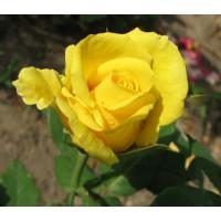 Роза Ландора(чайно-гибридная)