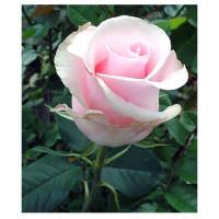 Роза Титаник(чайно-гибридная)