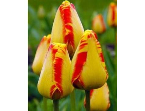 Тюльпан Банья Лука