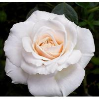 Роза Пенни Лэйн (плетистая)