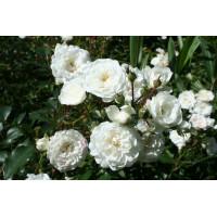 Роза Снежный балет (почвопокровные)